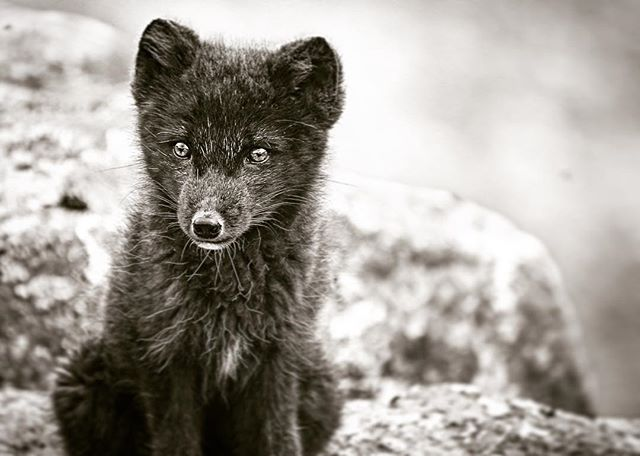 About the Arctic Fox in Iceland