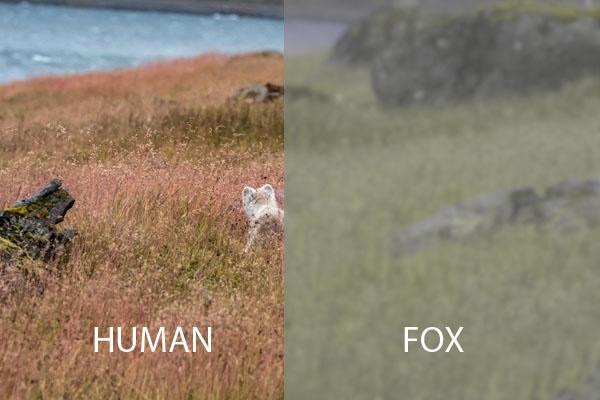 Arctic Fox vision simulator