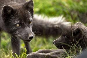 Arctic Fox & Cub