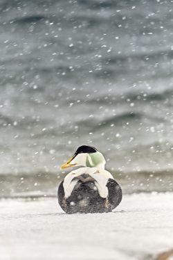 eider-duck