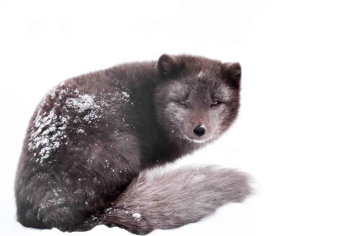 Arctic Fox in rest