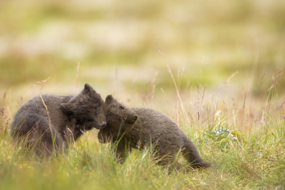 Arctic Fox Cubs playing