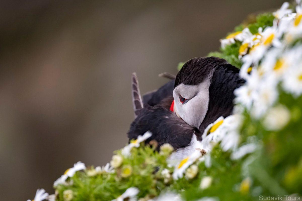 daisy-puffin