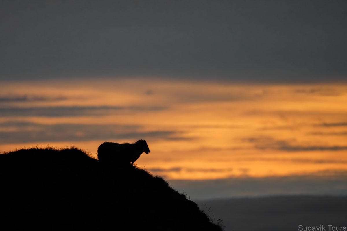 Sheep and sunset